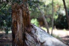 Сломленный ствол дерева в лесе стоковые фото