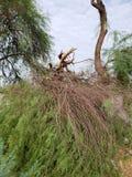 Сломленный ствол дерева Mesquite Стоковые Изображения RF
