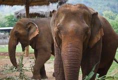 2 слона взрослых женщины азиатских Стоковое Изображение