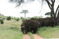 слоны африканцев Танзания Африки Стоковые Изображения