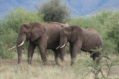 слоны Африки резервируют tarangire Танзании Стоковые Фото