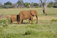 слоны Африки Стоковая Фотография
