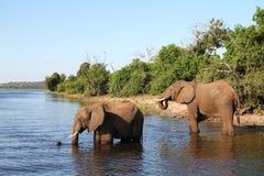 слоны Ботсваны Стоковые Изображения RF