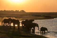 Слоны выпивая на реке chobe стоковое фото rf