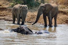 Слоны в водопое стоковые изображения