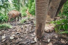 Слоны в джунглях Стоковое Изображение RF