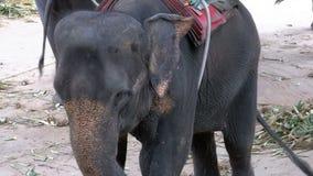 Слоны в зоопарке с тележкой на задней части едят движение медленное Таиланд ashurbanipal сток-видео