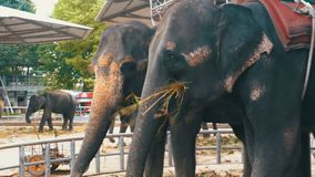 Слоны в зоопарке с тележкой на задней части едят Таиланд ashurbanipal видеоматериал
