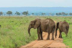 Слоны в национальном парке Mikumi, Танзании стоковые изображения rf