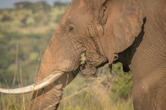 Слоны в одичалом в Kwazulu Natal стоковые изображения