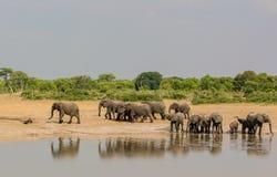 Слоны в саванне в Зимбабве, Южной Африки стоковое изображение