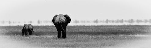 Слоны в b&w etosha Стоковое Изображение RF