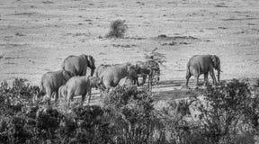 Слоны двигая через mara Стоковое Фото