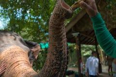 Слоны едят бананы стоковые изображения
