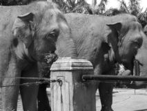 Слоны закрывают вверх по черной белизне стоковые фото