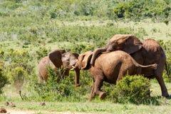 Слоны играя друг с другом стоковая фотография rf