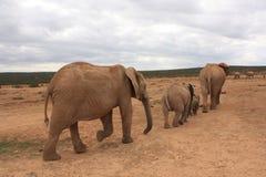 слоны идя намочить Стоковая Фотография