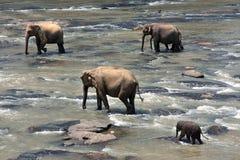 слоны индийские Стоковое Изображение RF