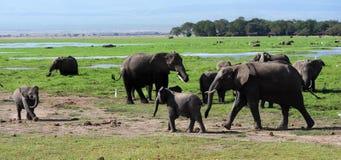 Слоны Килиманджаро в национальном парке Кении Amboseli стоковые фотографии rf