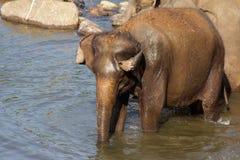Слоны купающ и моющ в реке, Стоковое Фото