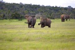 слоны молодые Стоковые Изображения RF