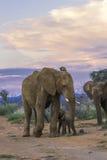 Слоны на заходе солнца стоковая фотография rf