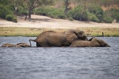 слоны плавая стоковое фото