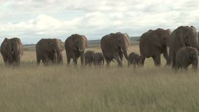 Слоны проникая в равнинах mara сток-видео