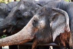 слоны тайские Стоковая Фотография