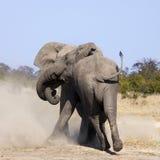 Слоны Bull воюя - Ботсвана стоковые фотографии rf