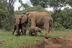 слоны calfs Стоковое Изображение