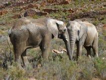Слоны entwined в Африке стоковые фотографии rf