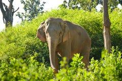 Слон Азии Стоковые Изображения