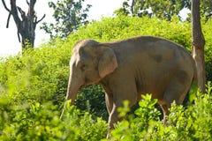 Слон Азии Стоковая Фотография