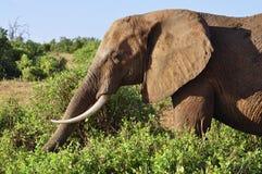 слон Африки Стоковое фото RF