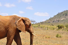 слон Африки Стоковые Фото