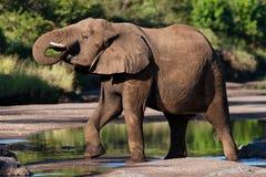 слон быка выпивая Стоковые Фото