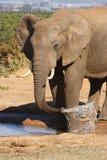 слон быка выпивая Стоковое фото RF