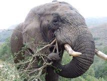 слон быка Стоковая Фотография