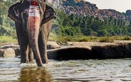 Слон виска около для того чтобы принять ванну реки стоковые изображения rf