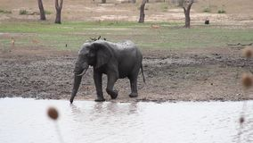 Слон выпивая waterhole видеоматериал