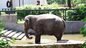 Слон в зоопарке Калининграда сток-видео