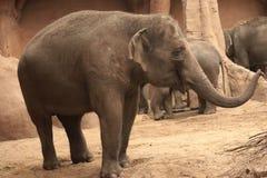 Слон в зоопарке, Роттердам младенца, Нидерланд стоковое изображение rf