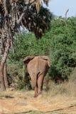 Слон в Кении идя прочь стоковое изображение