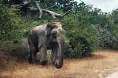 Слон в лесе стоковая фотография rf