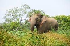 Слон в траве Стоковые Изображения