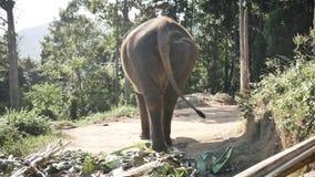 Слон идет вдоль дороги в одичалом акции видеоматериалы