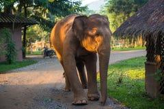 Слон идя в природный парк на восходе солнца Стоковая Фотография