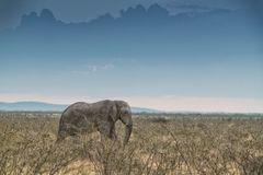 Слон идя в саванну с солнечным светом Намибия вышесказанного стоковое изображение