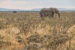 Слон идя в саванну с солнечным светом Намибия вышесказанного стоковая фотография